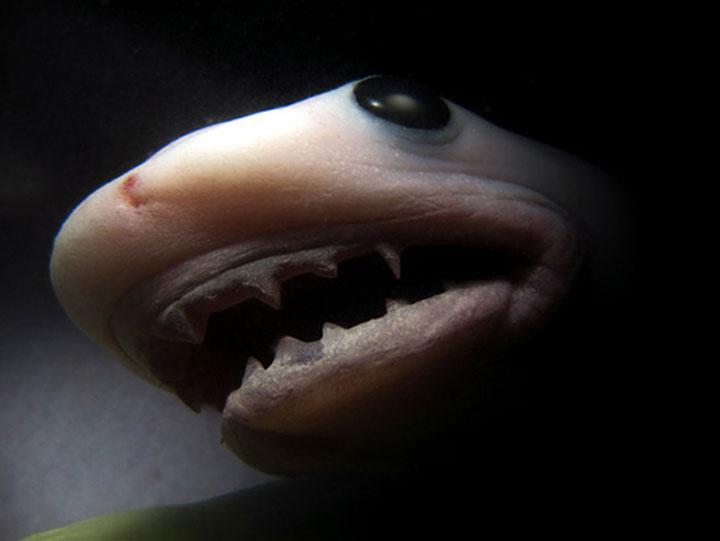 Tiger shark - Imgur