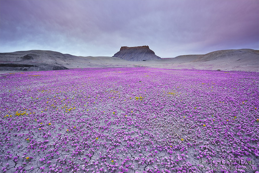 blooming-desert-badlands-utah-1