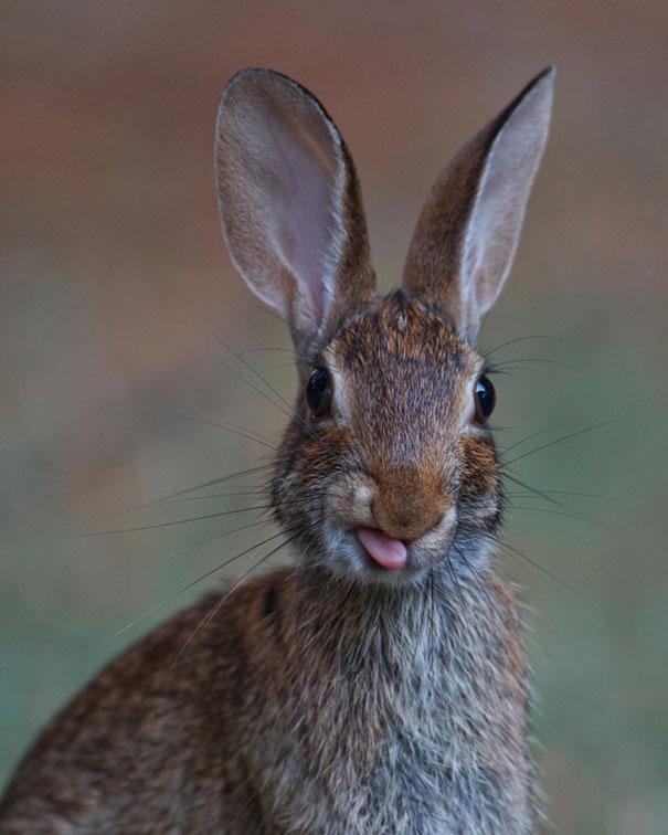 cute-bunnies-tongues-23