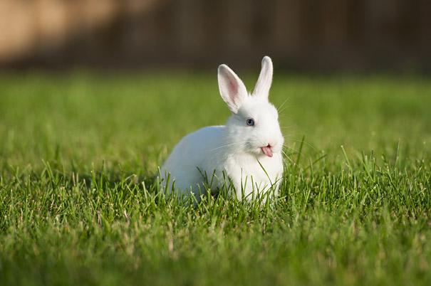 cute-bunnies-tongues-7