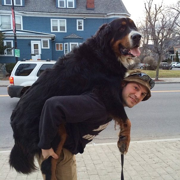 big-dog-funny-animal-photos-15__605
