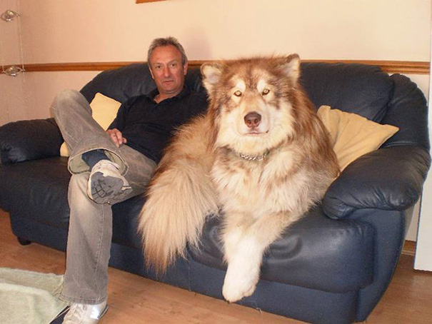 big-dog-funny-animal-photos-211__605