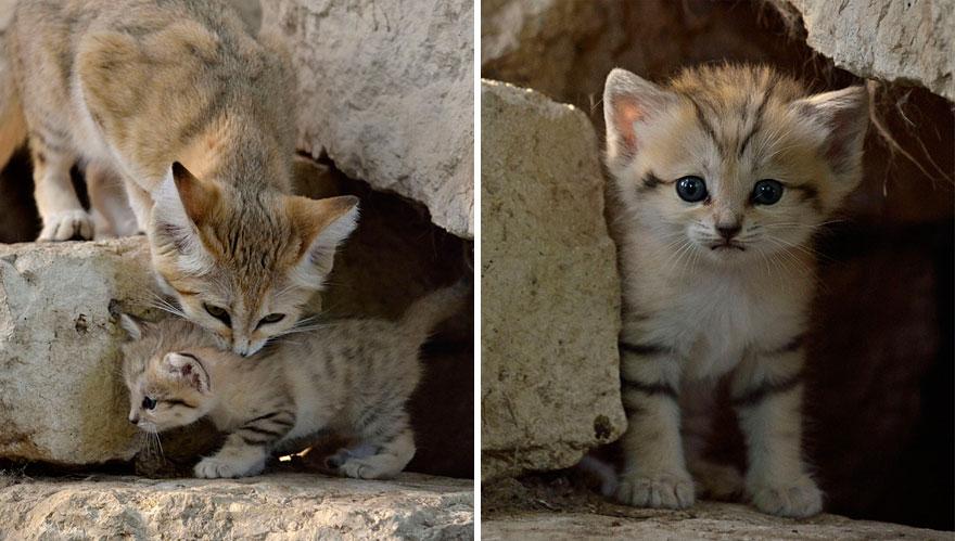 sand-cats-kittens-forever-101