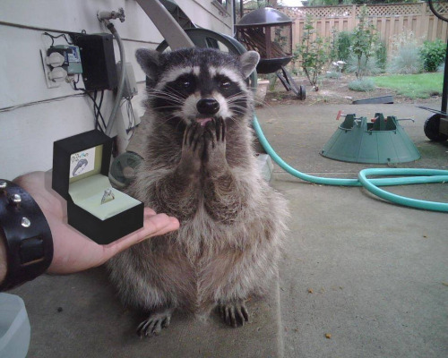 Funny_Racoon