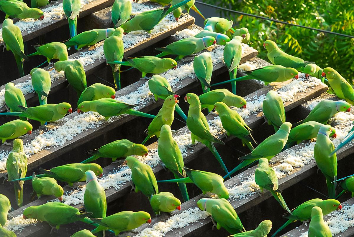 El hombre pájaro de la India alimenta a más de 4,000 periquitos ...