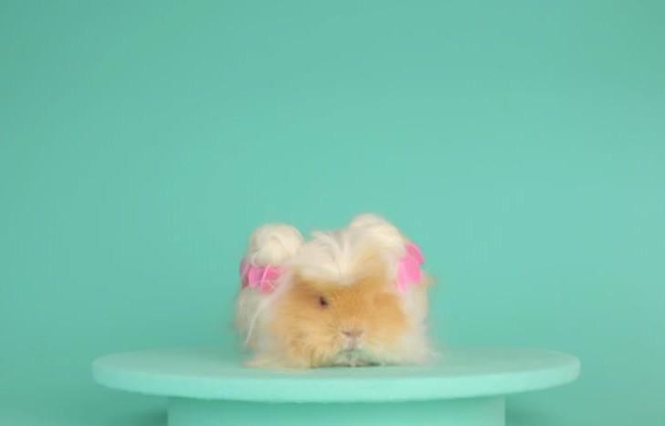 El cabello de este conejillo de indias es mejor que el tuyo